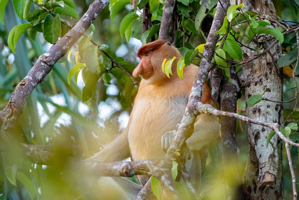 Wildlife shot of a male proboscis monkey in the treetop.