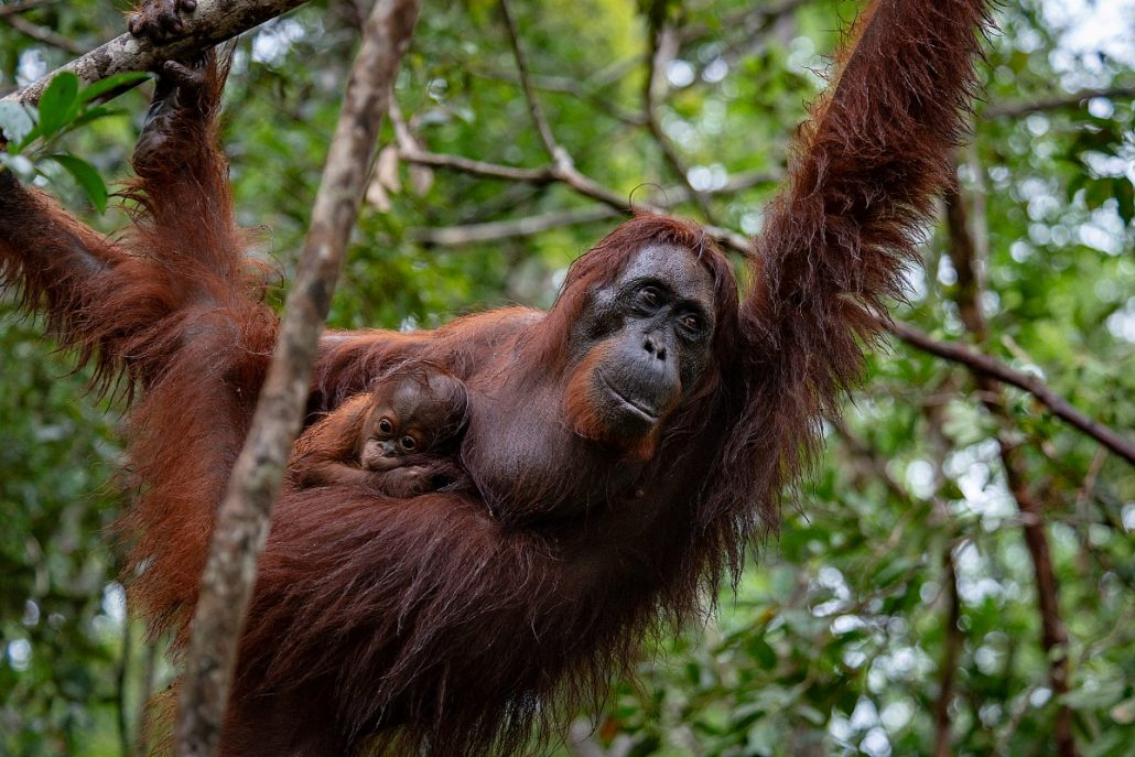Wildlife shot of a female orangutan with her offspring.