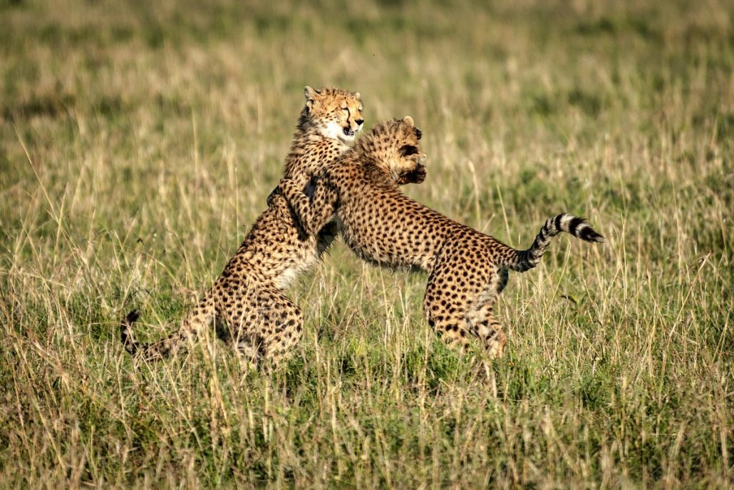 Wildlife shot of two cheetahs playing.