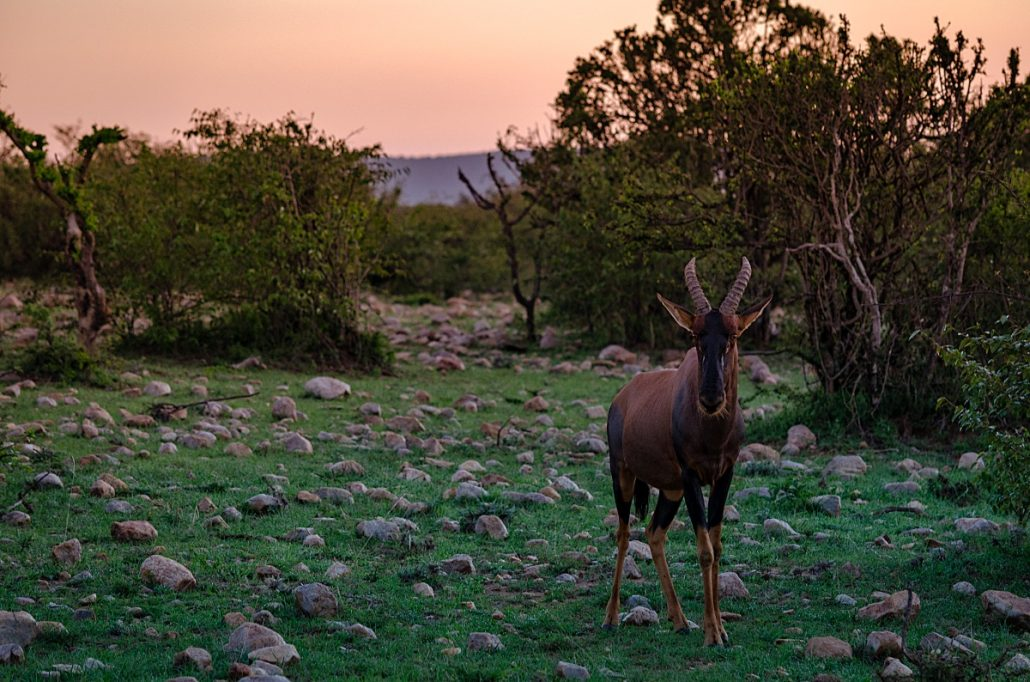 Wildlife shot of a topi antelope at sunset.
