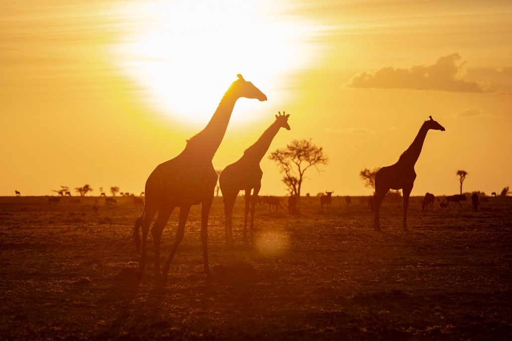 Wildlife shot of three giraffes in the sunset.