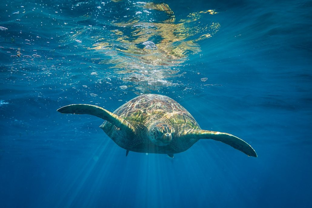 Underwater shot of a turtle diving in the sea.