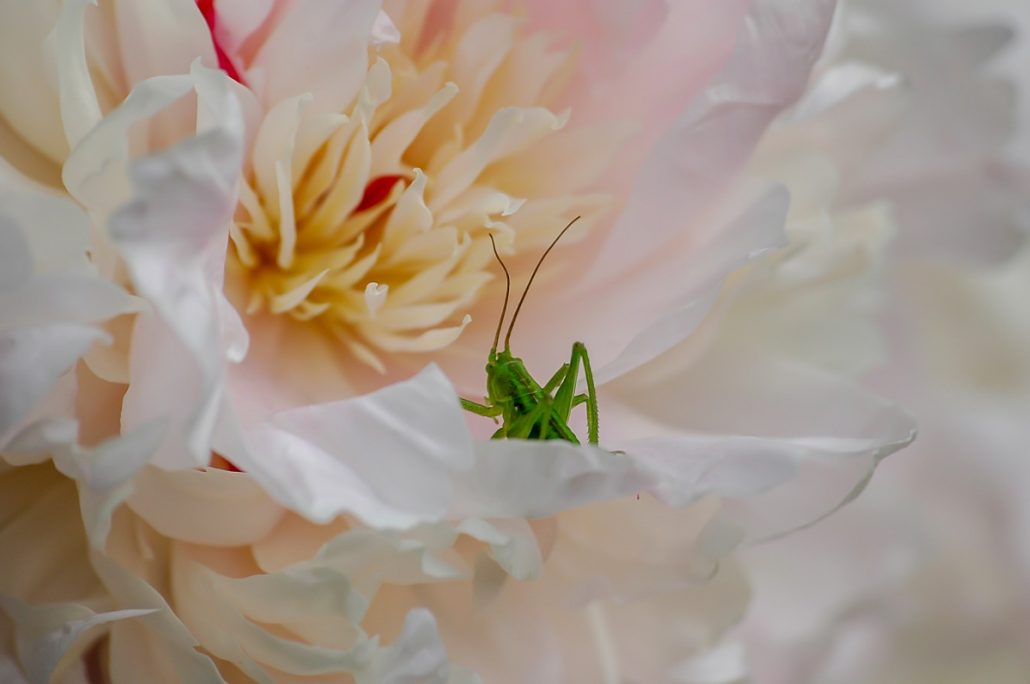 Wildlife shot of a green grasshopper in a flower.