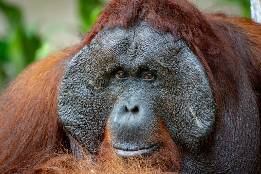 Wildlife close up of a male orangutan.