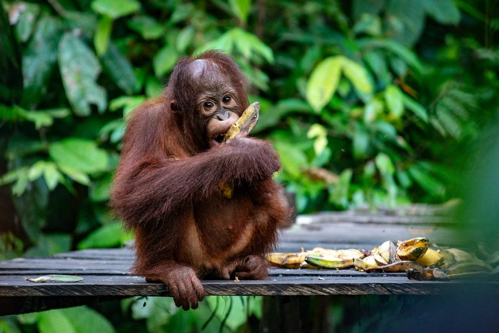 Wildlife shot of a young orangutan eating bananas.