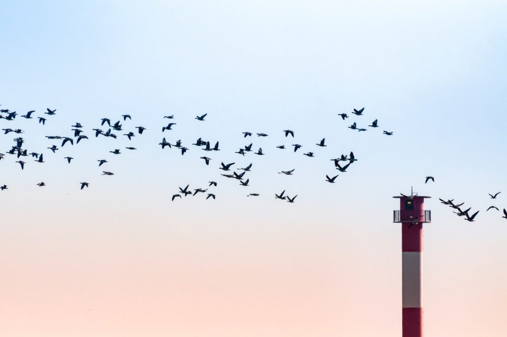 Wildlife shot of a flock of geese in front of a lighthouse.